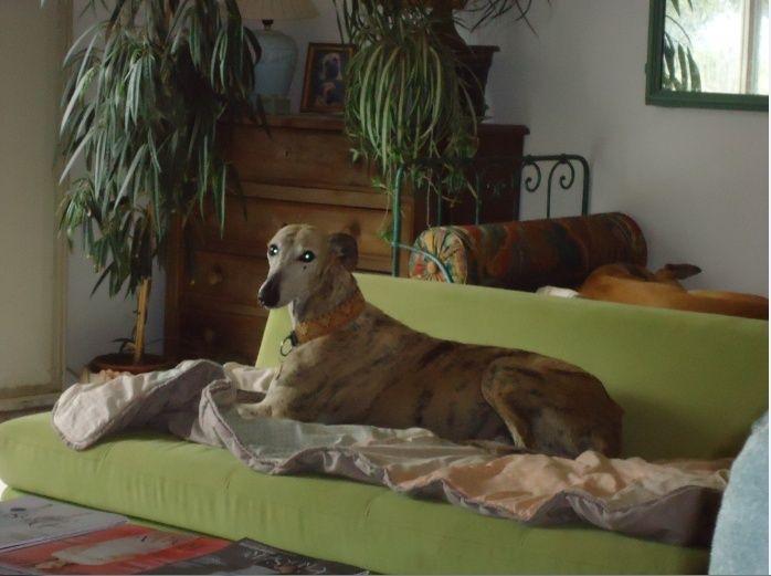 "Campeon galgo bringé clair à l'adoption ""Scooby France"" Adopté - Page 2 Campeo17"