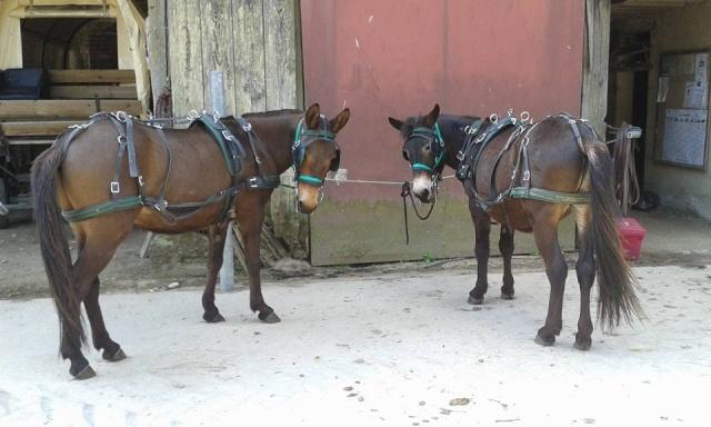 Mon projet d'attelage à 4 mules pas à pas ... - Page 3 11427210