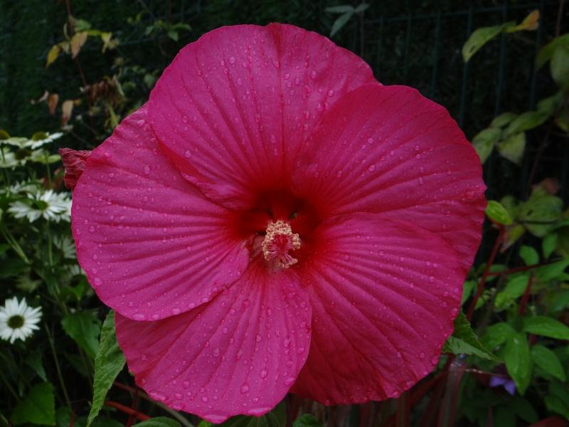 Hibiscus syriacus ou althéa  Dsc01110