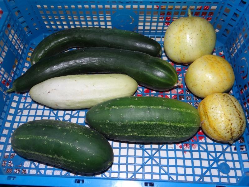 Concombre et cornichon  Dsc02812