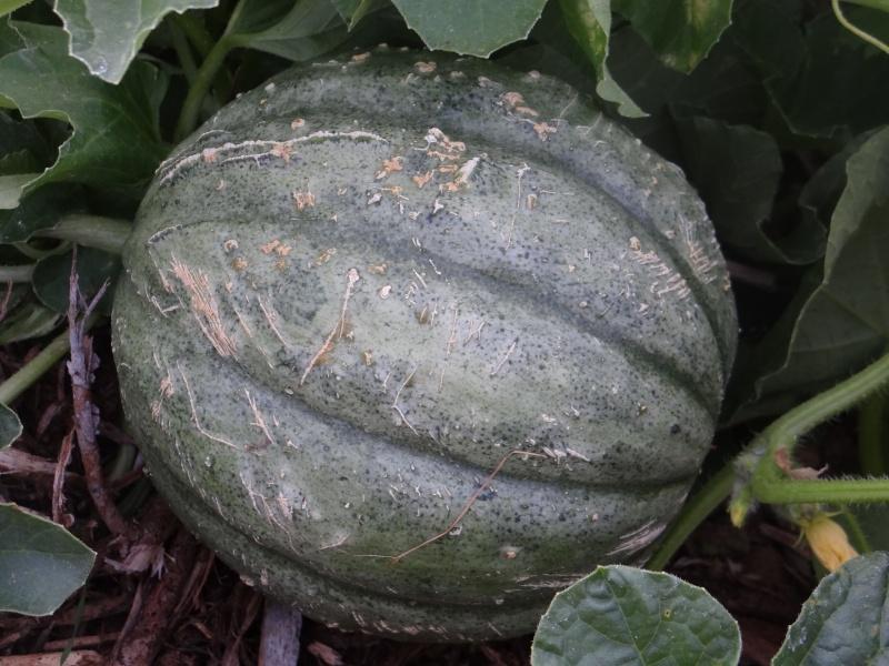 melon - Page 4 Dsc02830
