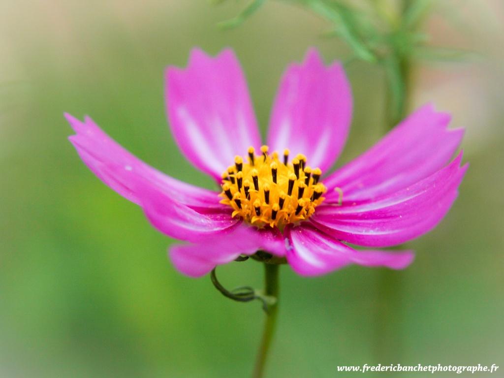 3 fleurs Cosmos11