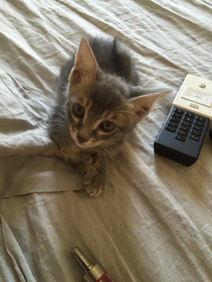 PIMPRENELLE, bébé chat femelle type européen - mai 2015 - adoptée par Sylvie (dpt 83) 11720411