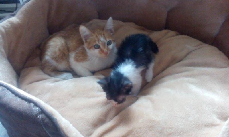 CHAUSSETTE (ex. NUFAR), chaton de 7 mois tapé par une voiture trouvé dans la rue (Pascani) - adopté par Déborah (39) - décédé 11856210