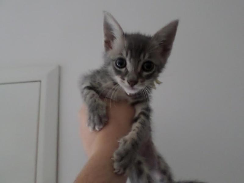 PIMPRENELLE, bébé chat femelle type européen - mai 2015 - adoptée par Sylvie (dpt 83) Mail_g10