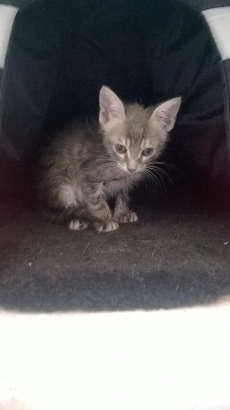 PIMPRENELLE, bébé chat femelle type européen - mai 2015 - adoptée par Sylvie (dpt 83) Wp_20130