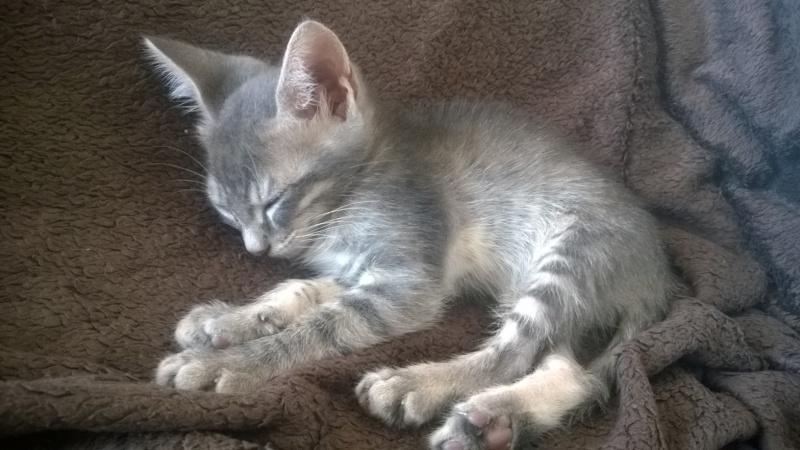 PIMPRENELLE, bébé chat femelle type européen - mai 2015 - adoptée par Sylvie (dpt 83) Wp_20132