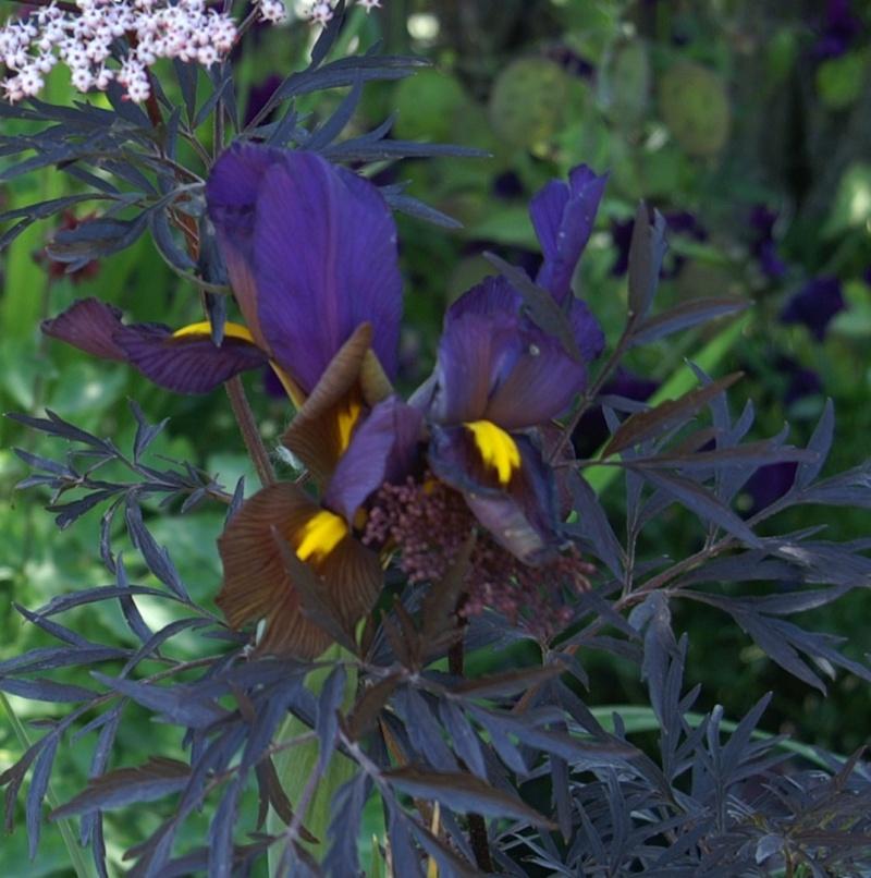 Sambucus nigra black lace - Page 2 Iris__10