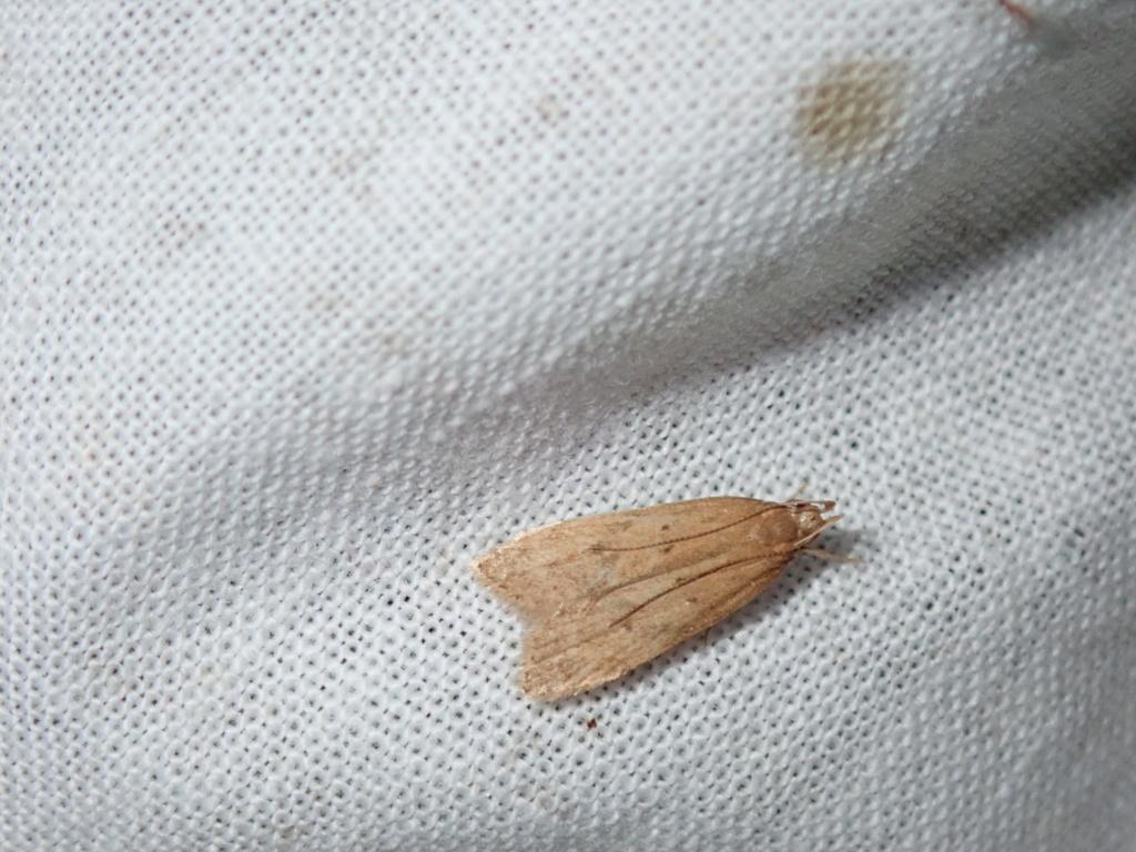 Gelechiidae P8060610