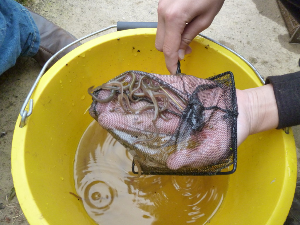 Eel Trap Results 2015 ! - Page 3 P1050420