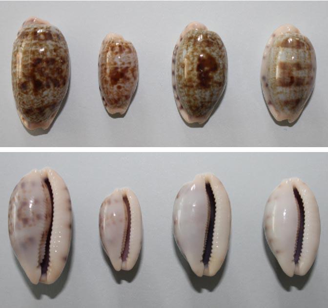 Talostolida pellucens pellucens - (Melvill, 1888) & Talostolida teres teres (Gmelin, 1791) Teres_10