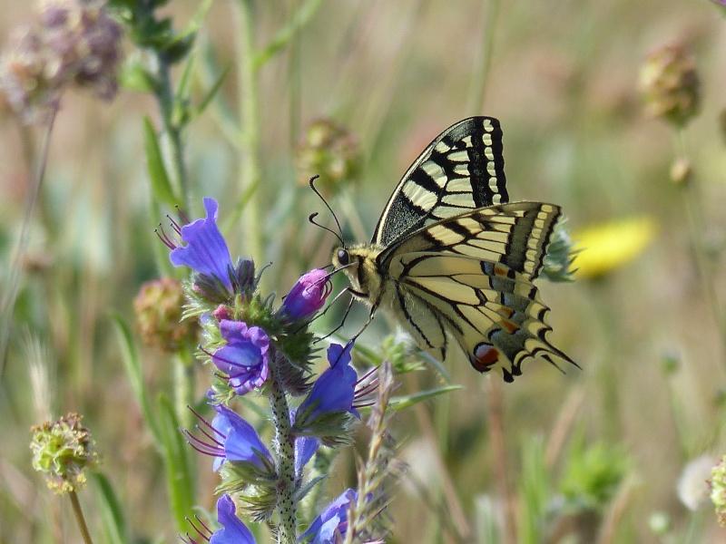 Papilio machaon sur vipèrine P1070015