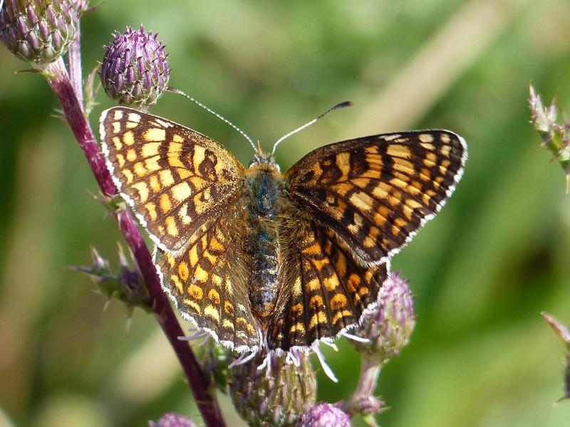 Melitaea phoebe P1070916
