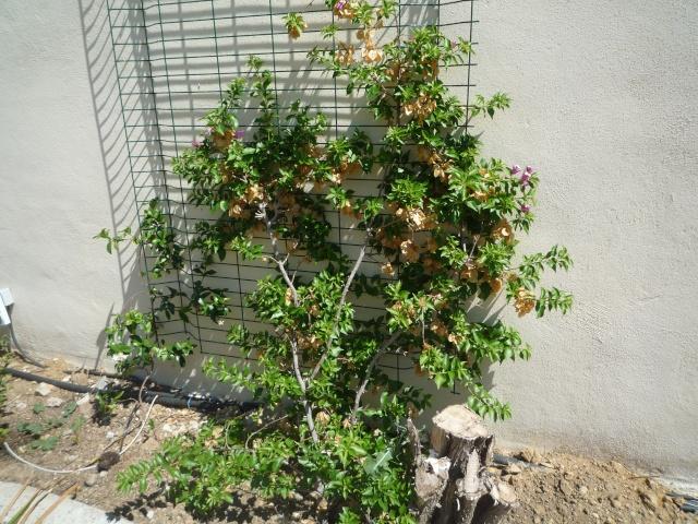 Bougainvillea specto-glabra en fleurs P1110613
