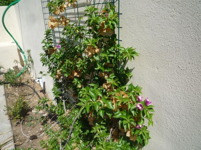 Bougainvillea specto-glabra en fleurs P1110614