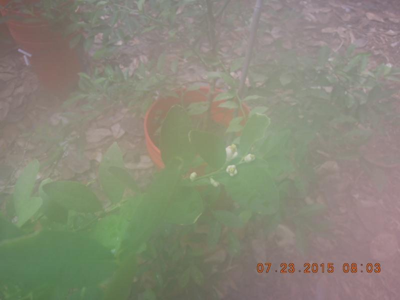 Key Lime Tree Dscn2313