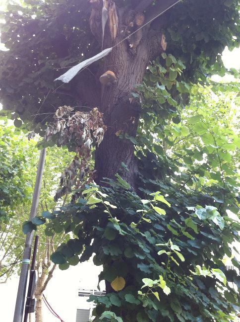 Etat sanitaire des arbres Photo_14