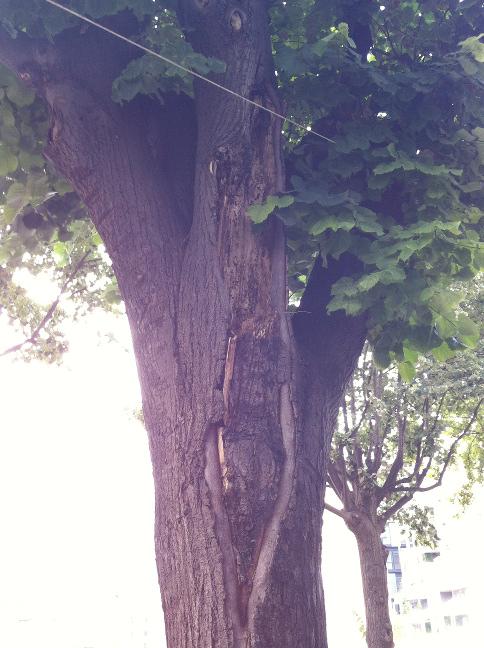 Etat sanitaire des arbres Photo_15