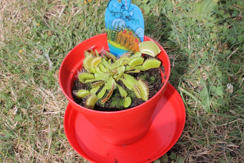 Dionaea Muscipula (Plante carnivore) - Page 3 Img_2012