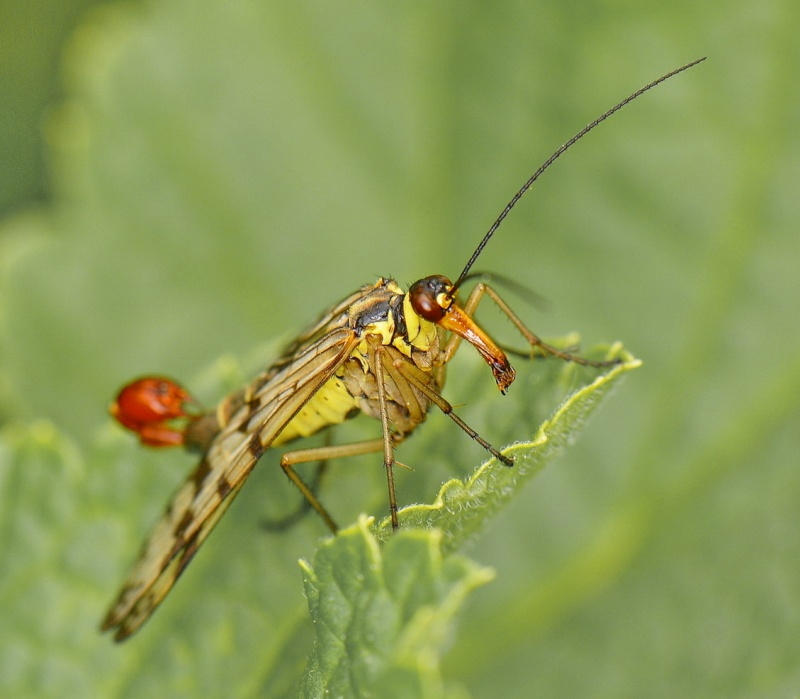 Mouche scorpion. 1aa_7411