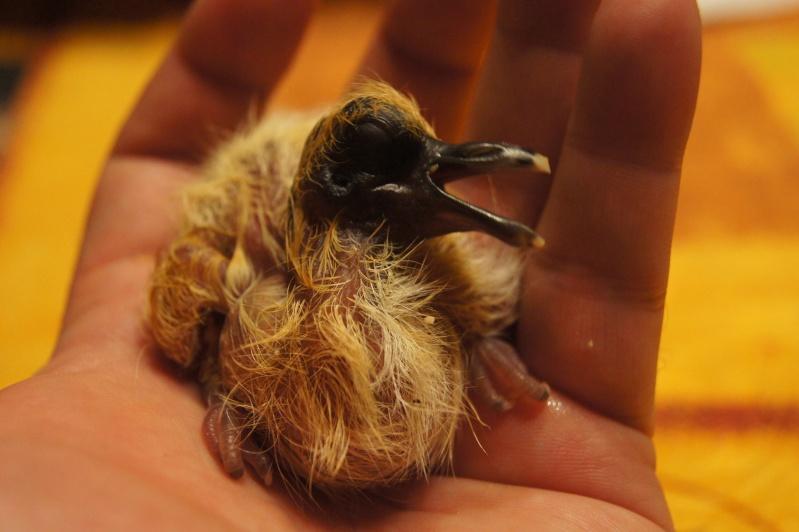 Bébé tourterelle tombé du nid Dsc02624