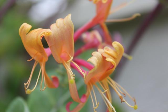 Chèvrefeuille des Jardins  -Lonicera- plante grimpante à  floraison très parfumée Img_3210