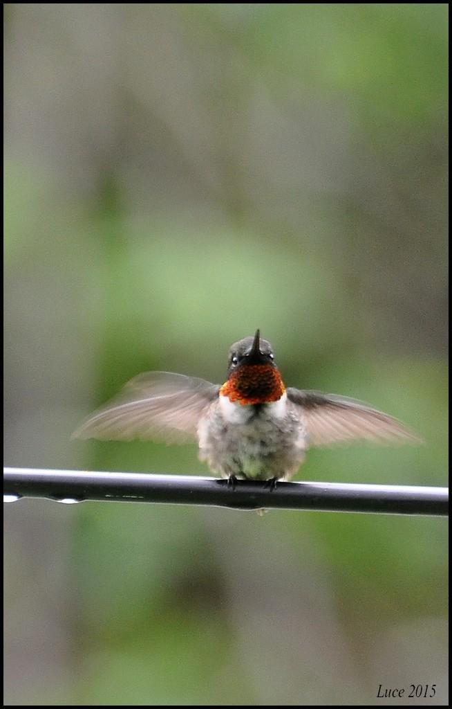 Colibri sous la pluie ! Dsc_0411