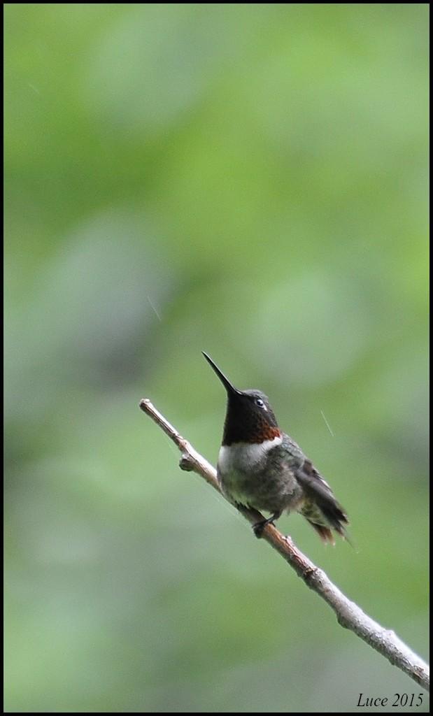 Colibri sous la pluie ! Dsc_0610