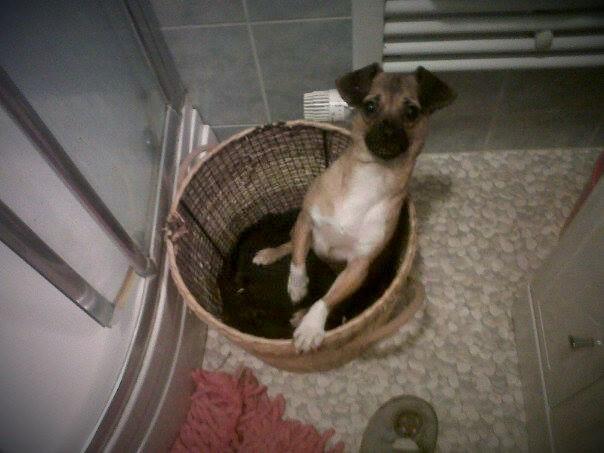 Betty, mini chien, soeur de Dixie 10428010
