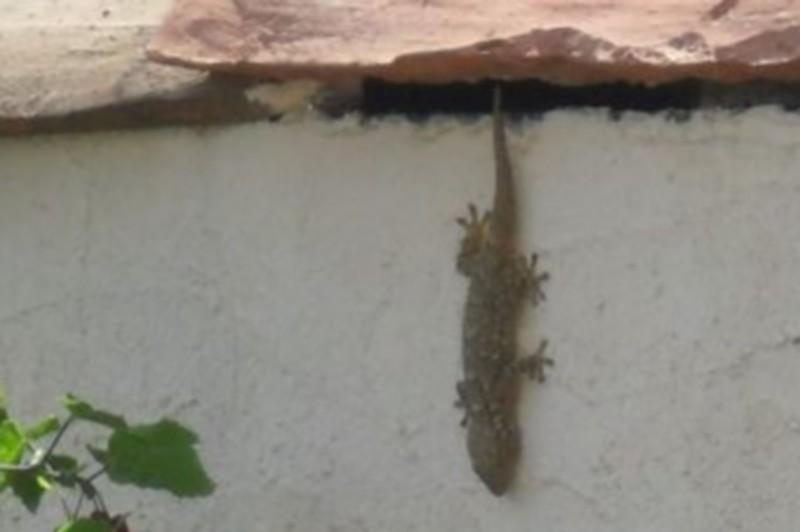 Copains de nos jardins Gecko110