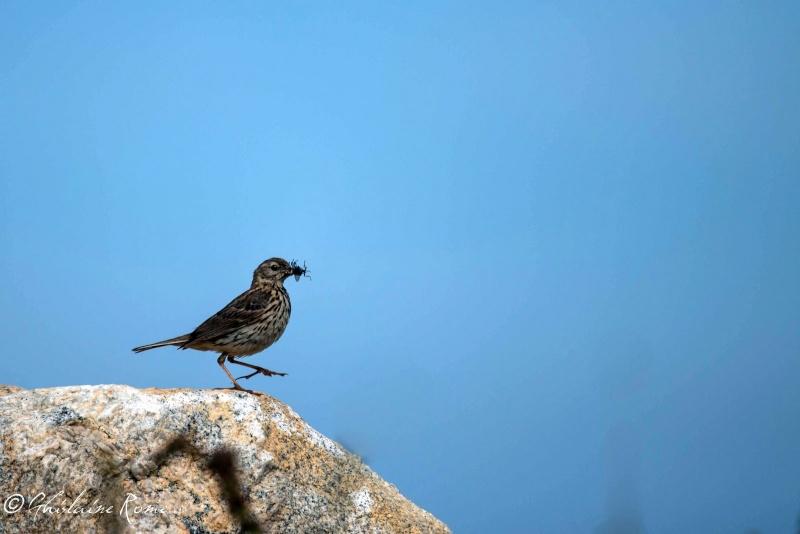 Animaux, oiseaux... etc. tout simplement ! - Page 23 Pipit_10
