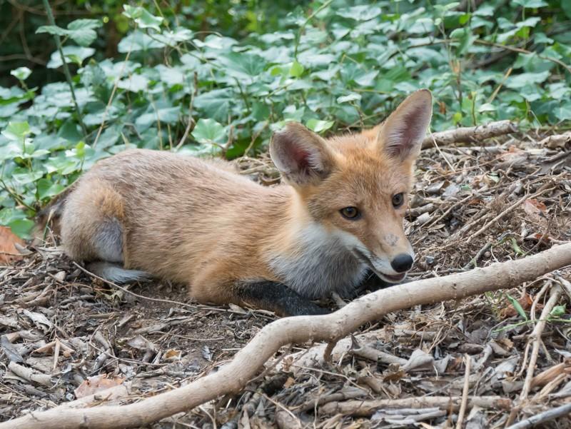 little fox P1060313