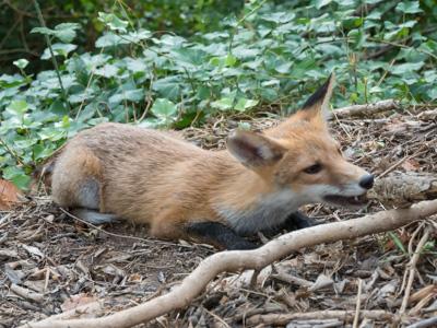 little fox P1060315