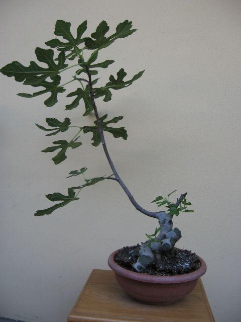 Piccolo Ficus Carica - Pagina 4 Img_5010