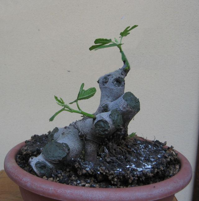 Piccolo Ficus Carica - Pagina 4 Img_5011