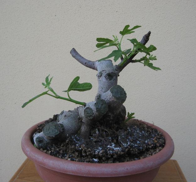 Piccolo Ficus Carica - Pagina 4 Img_5017