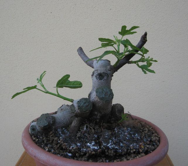 Piccolo Ficus Carica - Pagina 4 Img_5018