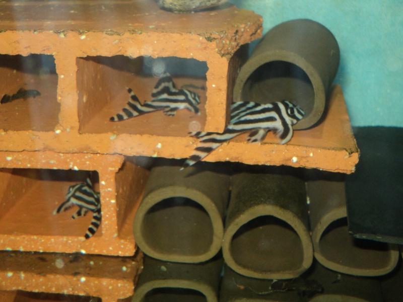 100 litres Hypancistrus Zebra L46 du RIO XINGU! - Page 2 Dsc06112