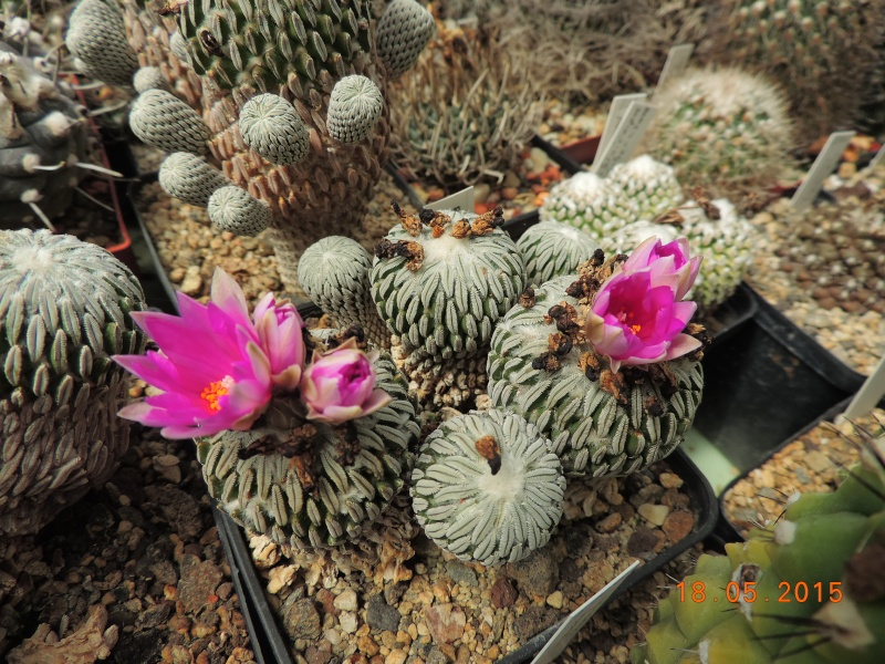 Cacti and Sukkulent in Köln, every day new flowers in the greenhouse Part 125 Bild_143