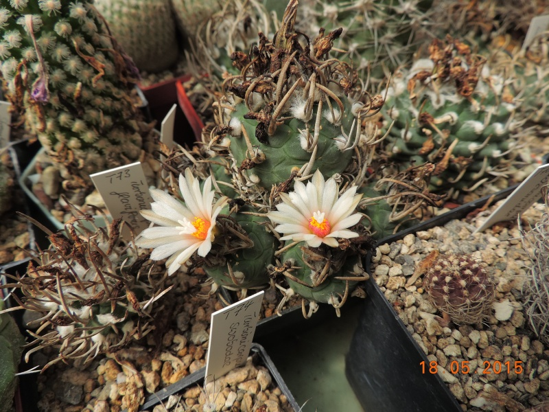 Cacti and Sukkulent in Köln, every day new flowers in the greenhouse Part 125 Bild_146