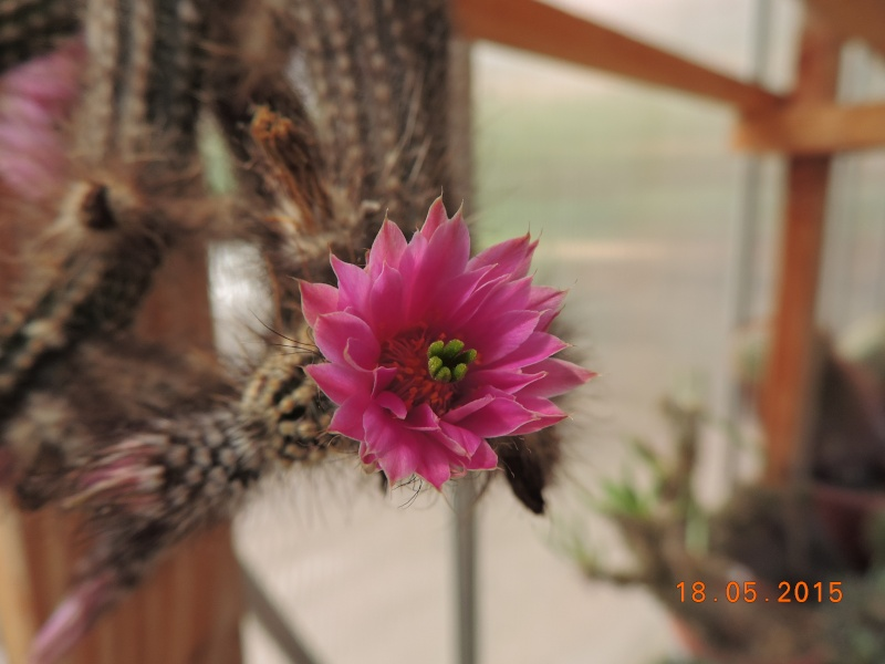 Cacti and Sukkulent in Köln, every day new flowers in the greenhouse Part 125 Bild_159