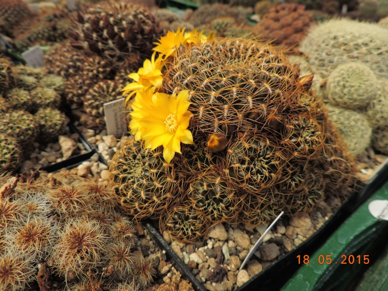 Cacti and Sukkulent in Köln, every day new flowers in the greenhouse Part 125 Bild_162