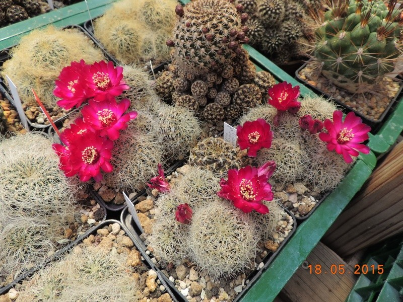 Cacti and Sukkulent in Köln, every day new flowers in the greenhouse Part 125 Bild_164