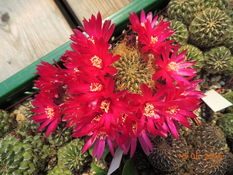 Cacti and Sukkulent in Köln, every day new flowers in the greenhouse Part 125 Bild_168