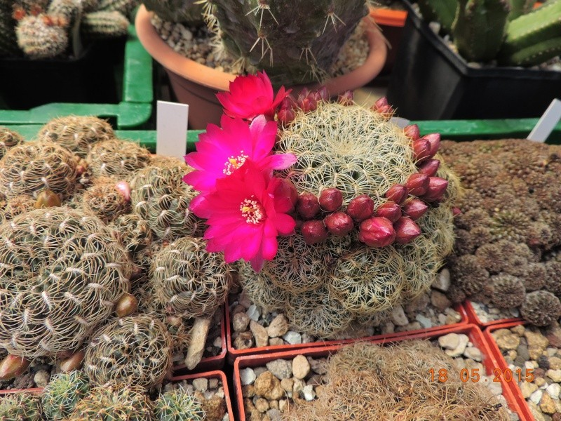 Cacti and Sukkulent in Köln, every day new flowers in the greenhouse Part 125 Bild_170