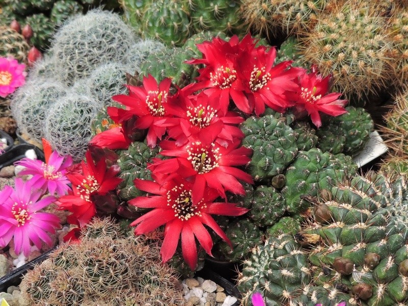 Cacti and Sukkulent in Köln, every day new flowers in the greenhouse Part 125 Bild_172