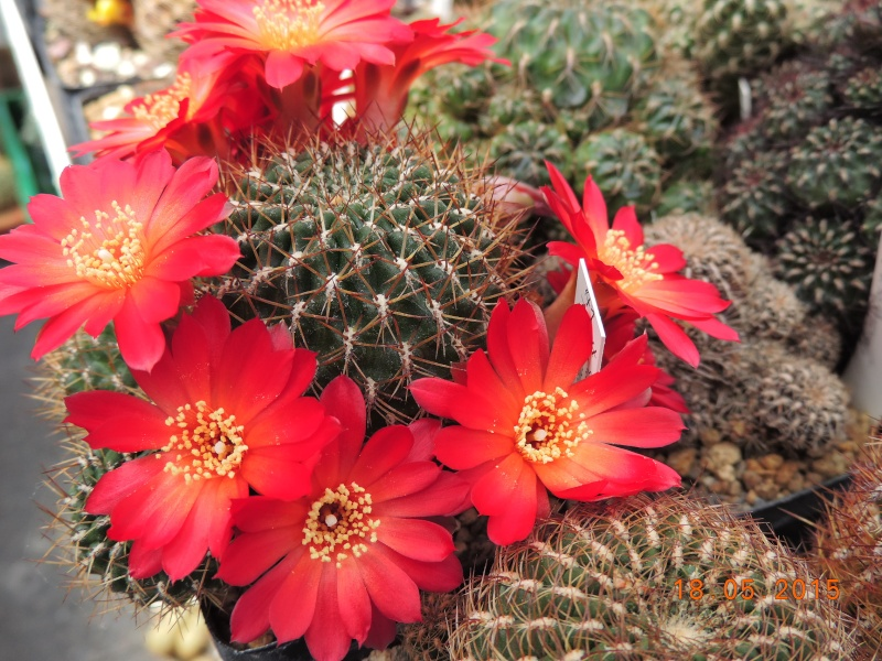 Cacti and Sukkulent in Köln, every day new flowers in the greenhouse Part 125 Bild_185