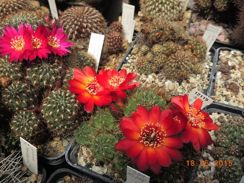 Cacti and Sukkulent in Köln, every day new flowers in the greenhouse Part 125 Bild_187