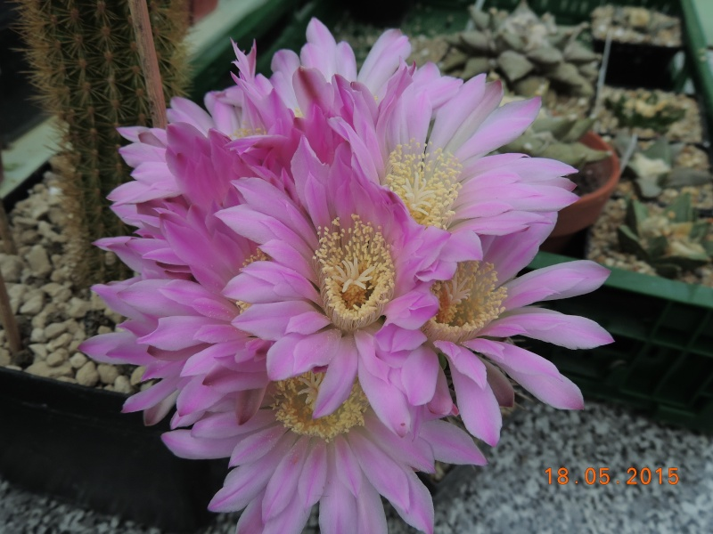 Cacti and Sukkulent in Köln, every day new flowers in the greenhouse Part 125 Bild_197