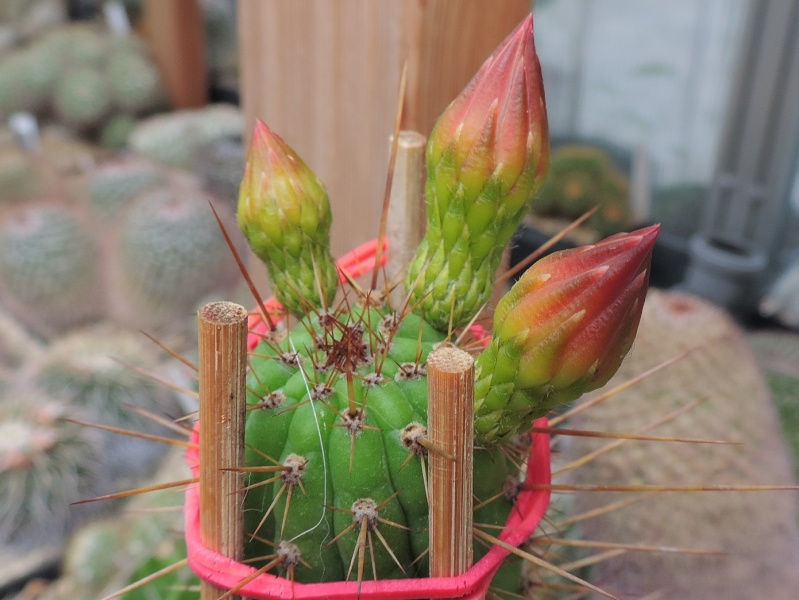 Cacti and Sukkulent in Köln, every day new flowers in the greenhouse Part 126  Bild_244